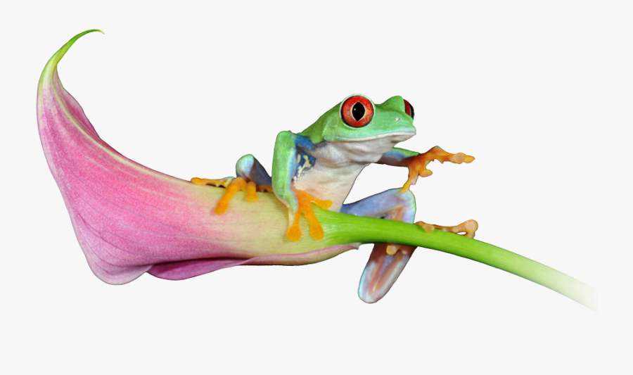 See Our Latest Website Projects - Red-eyed Tree Frog, Transparent Clipart