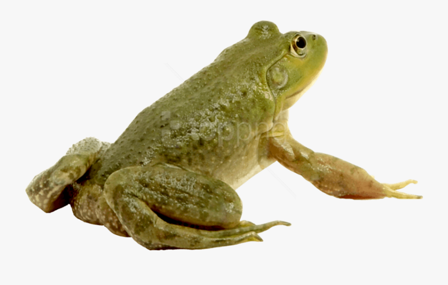 Frog,amphibian,toad,true Frog,bullfrog,hyla,tree Frog,true - Лягушка На Прозрачном Фоне, Transparent Clipart