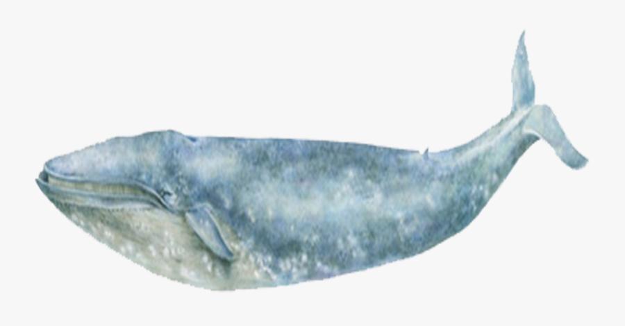 Blue Whale Sea Ocean - Grey Whale, Transparent Clipart