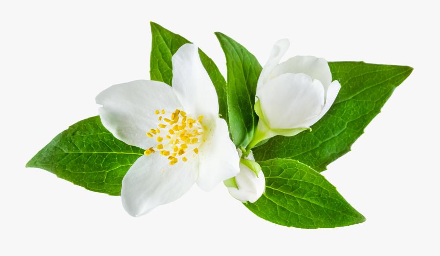 Magnolia clipart jasmine flower, Magnolia jasmine flower Transparent FREE  for download on WebStockReview 2020
