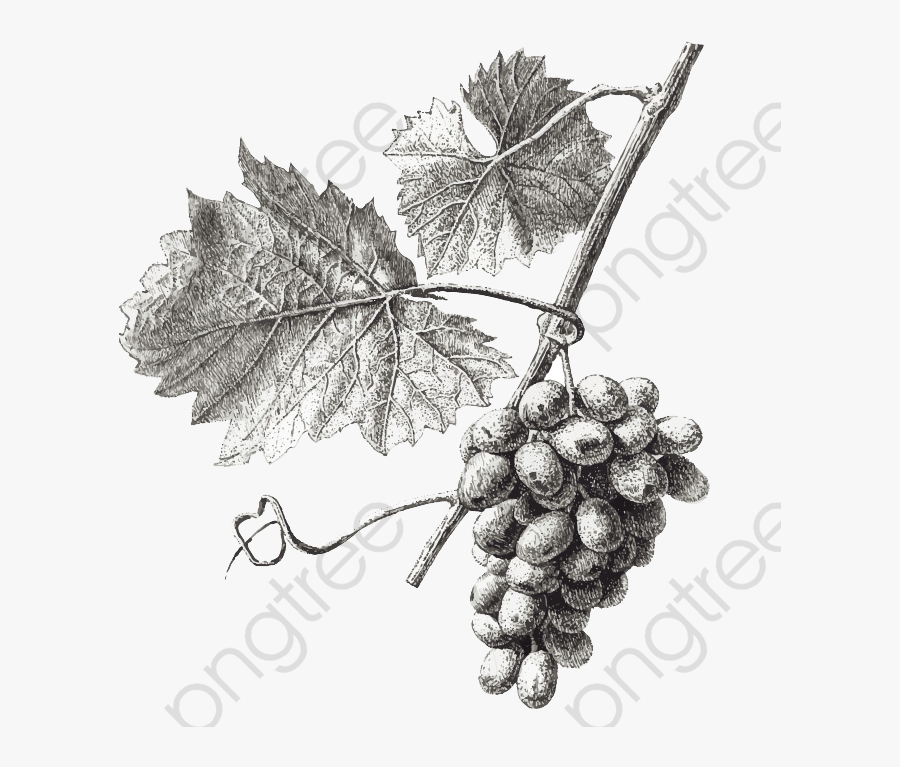 Grapes Clipart Simple Graphics Grape Leaves Drawing Png Free Transparent Clipart Clipartkey