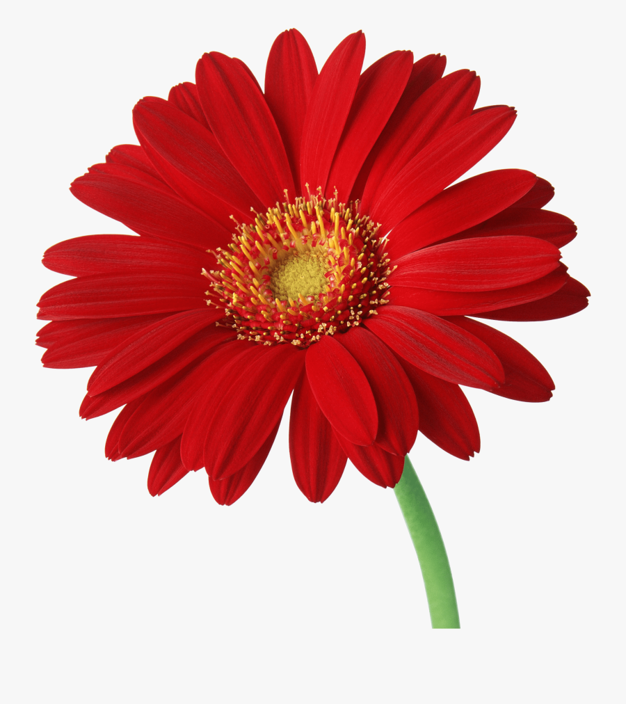 Daisy Clipart Red - Red Daisy Flower Png, Transparent Clipart