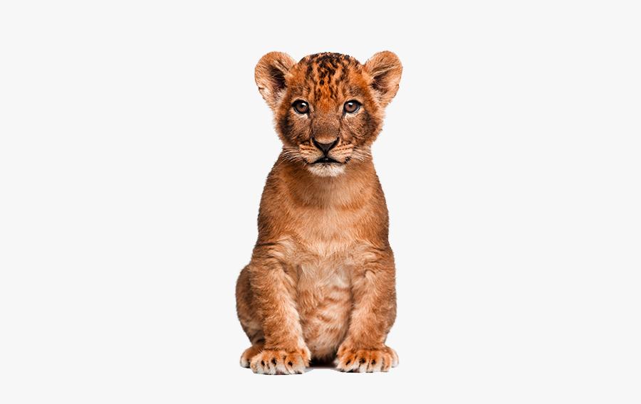 Animals Clipart Png,cartoon A - Transparent Lion Cub Png, Transparent Clipart