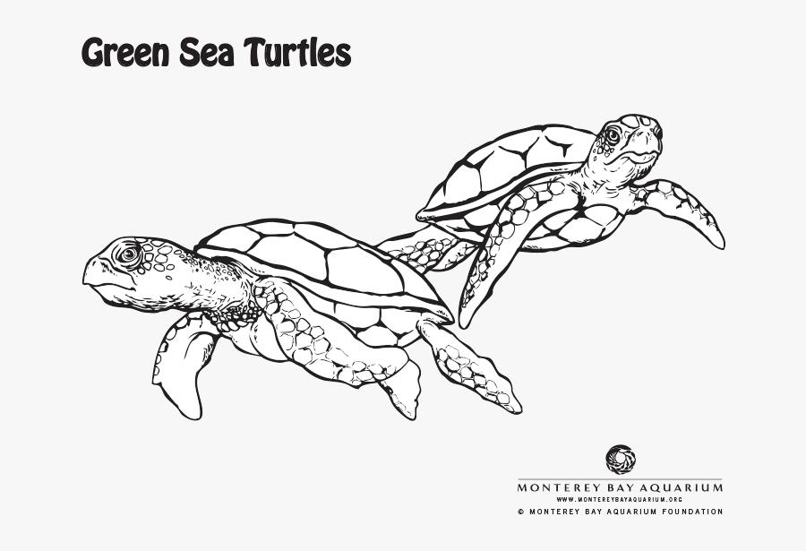Transparent Sea Turtle Clipart Png - Green Sea Turtle Drawing Colour, Transparent Clipart
