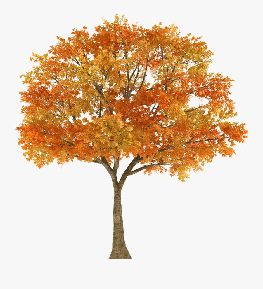 Autumn Tree Maple Oak Branch - Autumn Tree Maple Tree White Background, Transparent Clipart