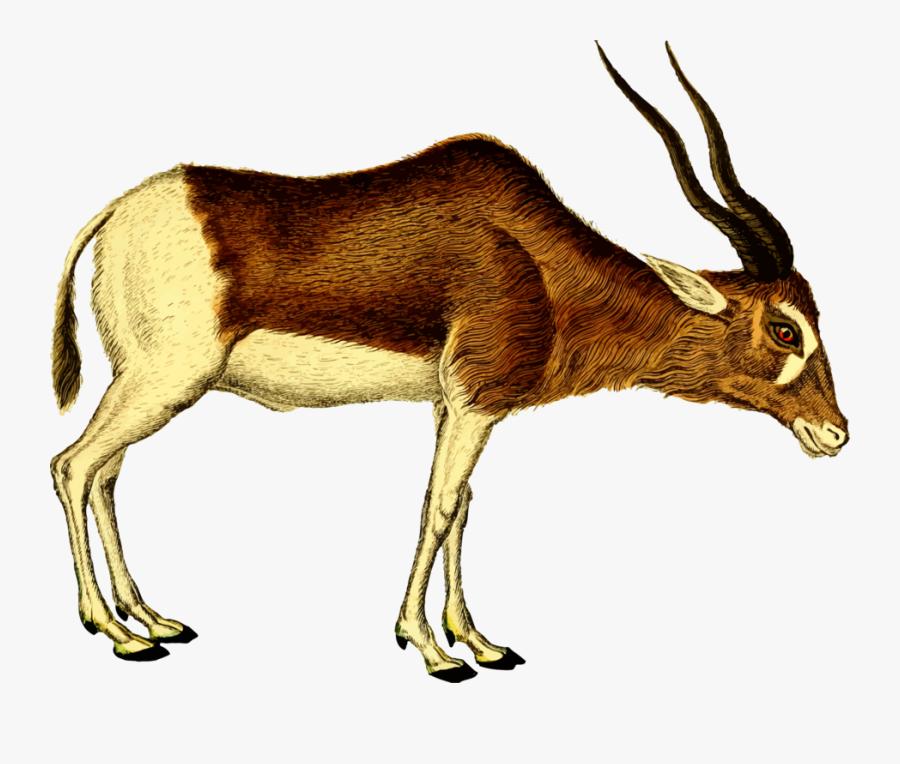 Antelope,cattle Like Mammal,springbok - Antelope Clipart, Transparent Clipart