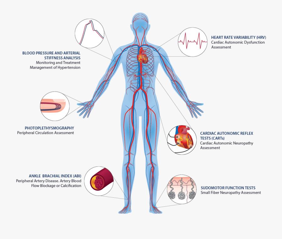 Transparent Circulatory System Png - Human Circulatory System, Transparent Clipart