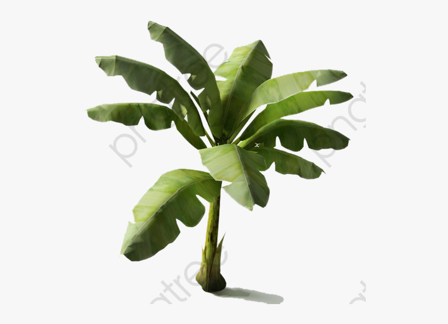 Transparent Aquarium Plants Clipart - Banana Tree 3d Models, Transparent Clipart