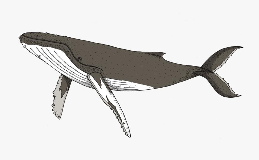 Marine Whale,dolphin,sperm Whale,bottlenose Dolphin,blue - Transparent Humpback Whale Clipart, Transparent Clipart