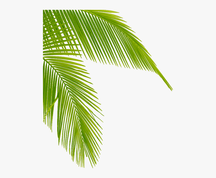 Download Transparent Palm Tree Leaves Png Clipart Leaf - Palm Tree Leaf Png, Transparent Clipart