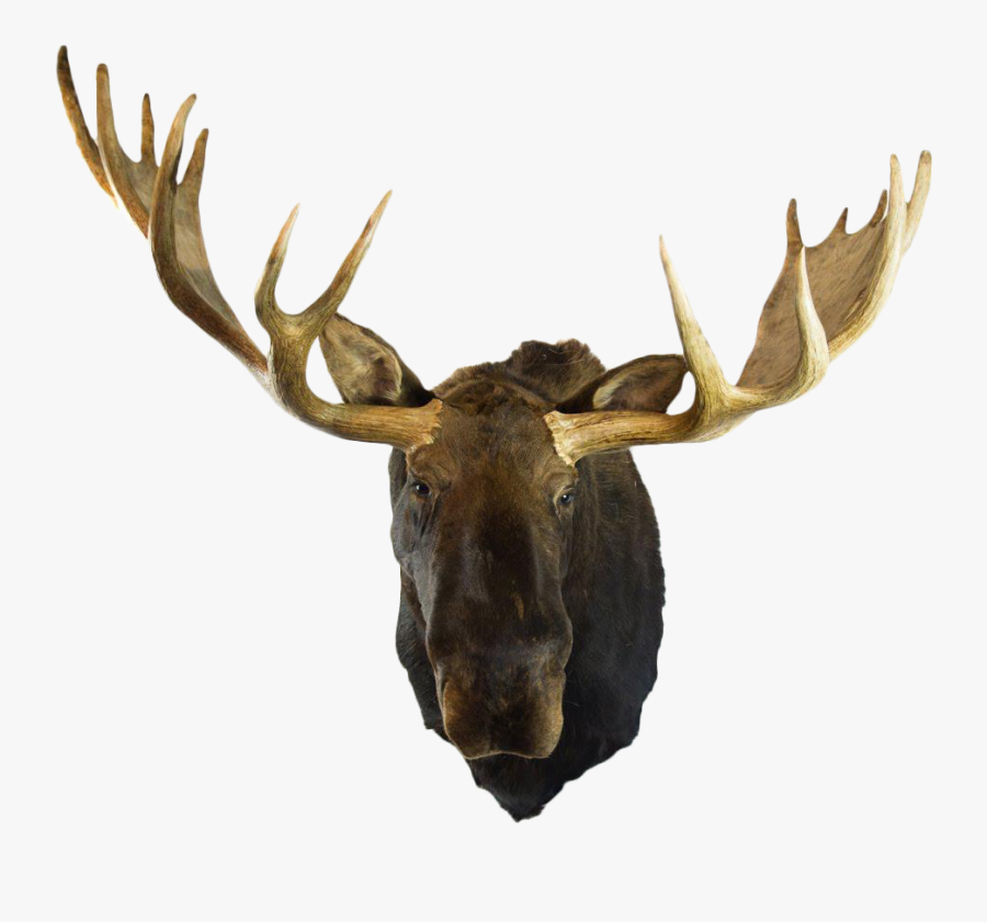 Transparent Moose Clipart - Mounted Moose Head Png, Transparent Clipart