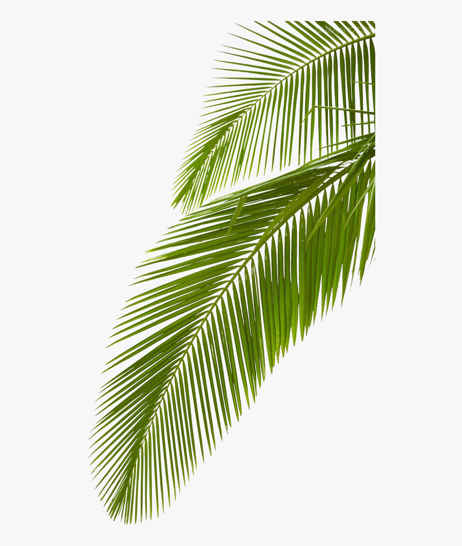 Leaf Photography Royalty-free Arecaceae Palm Branch - Palm Tree Leave Png, Transparent Clipart