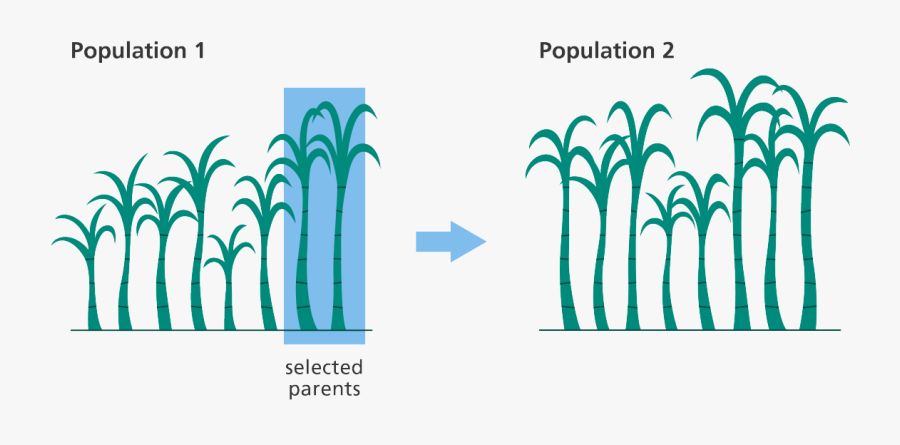 A Graphic Depicting The Process Of Selectively Breeding, Transparent Clipart