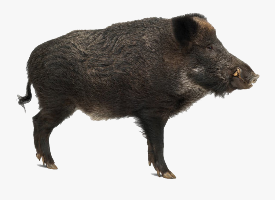Boar Png Clipart - Wild Boar Side View, Transparent Clipart