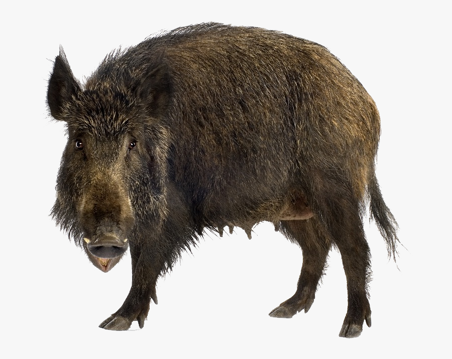 Boar Png - Wild Boar Png, Transparent Clipart