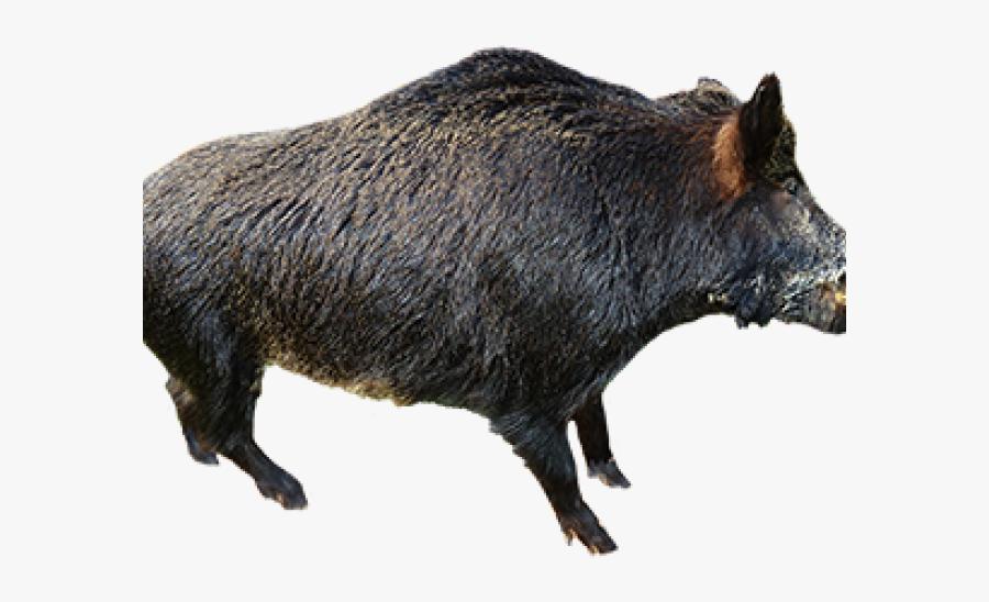 Wild Boar Clipart - Wild Boar No Background, Transparent Clipart